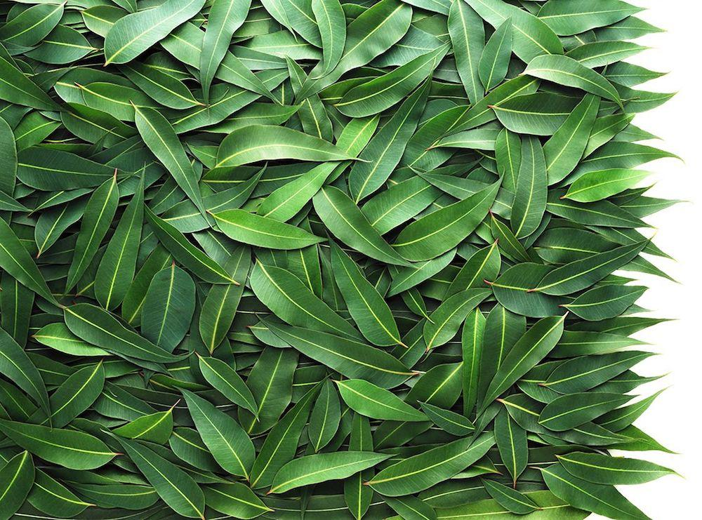 History and Benefits of Eucalyptus Oils