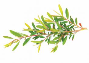 Tea Tree Oil and It's Amazing All Natural Benefits That Will Surprise You
