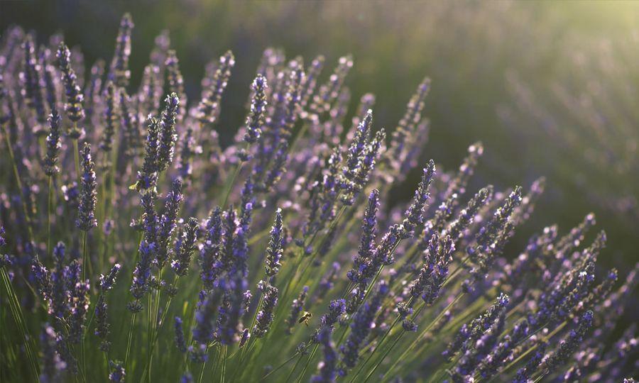 Purple lavender flowers used in making lavender oil.